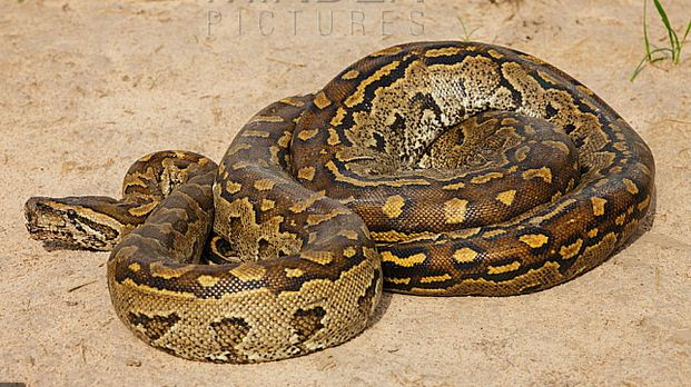 10 Most Dangerous Snakes In Nigeria